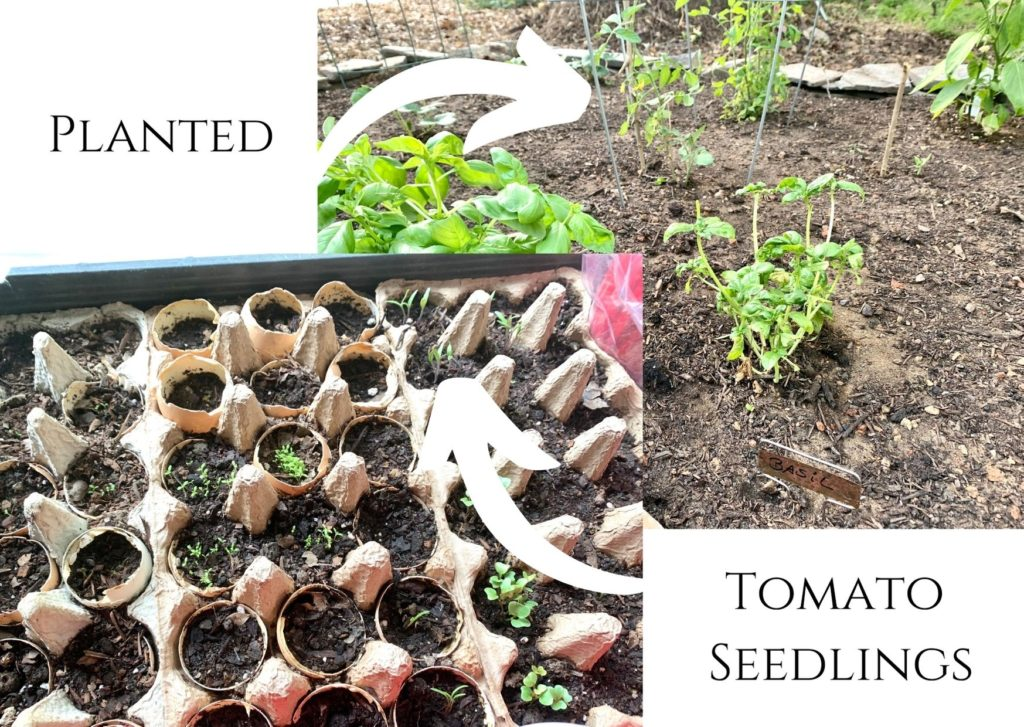 tomatoes grown from seeds